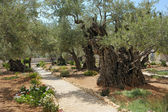 Garden of Gethsemane — Stock Photo