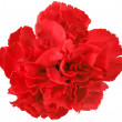 One a red carnation — Stock Photo #10337187