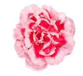 Pink flower of carnation — Stock Photo