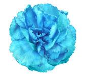 Blue flower of carnation — Stock Photo
