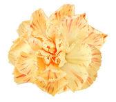 橙花的康乃馨 — 图库照片