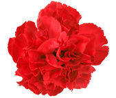 One a red carnation — Stock Photo