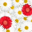 Stock Photo: Background of red and white flowers