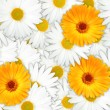 Background of orange and white flowers — Stock Photo