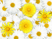 Background of yellow and white flowers — Stock Photo