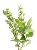 One vertical branch of white lilac — Stock Photo
