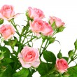 Bush of pink roses with green leafes - Stock Photo