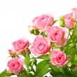 Group of pink roses with green leafes - Stock Photo