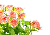 Light pink roses with green leafes — Stock Photo