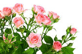 Bush of pink roses with green leafes — Stock Photo