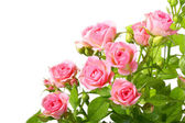Group of pink roses with green leafes — Stock Photo
