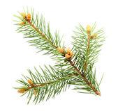 Single green branch of fur-tree — Stock Photo