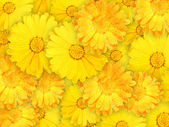 Background of orange and yellow wet flowers — Stock Photo