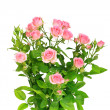 Bush with pink roses and green leafes — Stock Photo #8942732