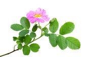 Single branch of dog rose — Stock Photo
