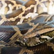 Stock Photo: Closeup python