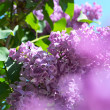 gros plan de lilas — Photo