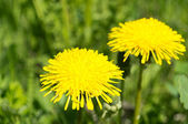 Dandelion plant — Stock Photo
