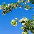 Blooming apple tree — Foto Stock