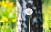 Dandelion on lawn at forest — Stock Photo