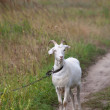 Goat on meadow — Stock Photo