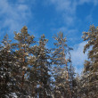 Foto Stock: Winter pine forest