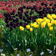 Yellow and violet tulips — Stock Photo