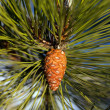 Pine cone. Close-up view. — Stock Photo