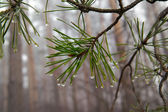 Water drops on pine-needle — Stock Photo