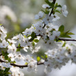 Spring flowers of cherry tree — Stock Photo