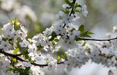 Spring flowers of cherry tree — Stock Photo