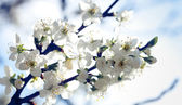 Apple tree with flowers under blue skies — Photo