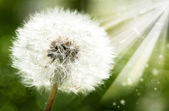 Dandelion flower against sun beam, spring backgrounds — Stock Photo
