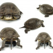 Set of mobile turtle over white backgrounds - Stock Photo