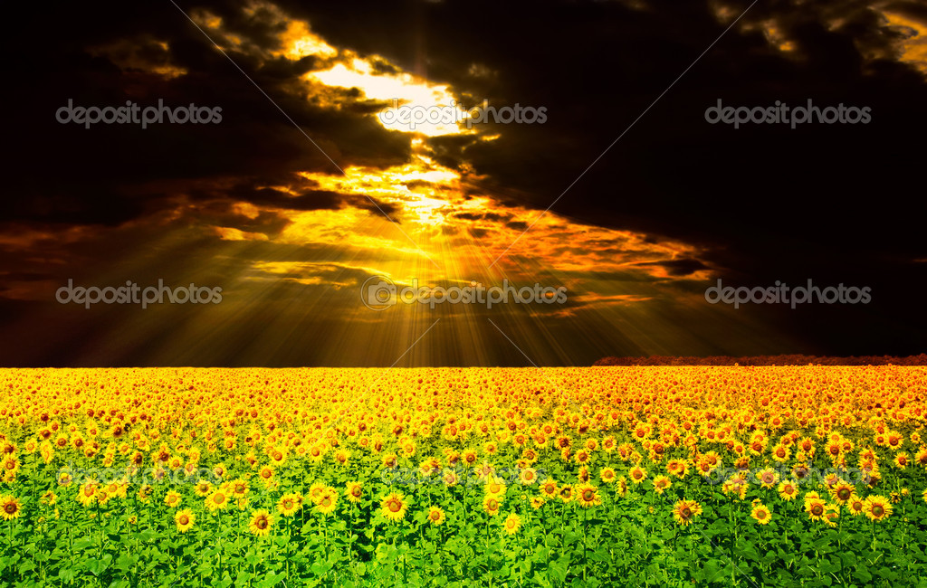 Sunflowers field under the dramatic skies. beautiful rural scene — Stock Photo #9619110