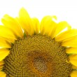 Sunflower — Foto de stock #8911110