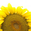 Sunflower — Stockfoto #8911110