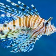 Lionfish in blue water - Stock Photo
