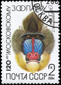 USSR - CIRCA 1984 Mandrill — Stock Photo