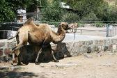 Camel in zoo — Stock Photo