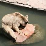 Brown bear — Stock Photo #9566184