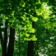 Green maple forest — Stock Photo