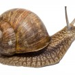 Funny Snail — Stock Photo #9903178