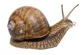 Funny Snail — Stock Photo