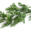 Twig of fennel - Stock Photo
