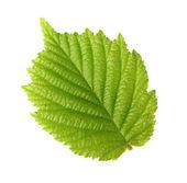 Leaf of hazelnut — Stock Photo