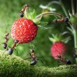 Team of ants picking wild strawberry, agriculture teamwork - Stock Photo