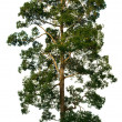 Crown of big tree on white — Stock Photo #8443805