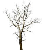 Dead dried oak tree isolated on white — Stock Photo