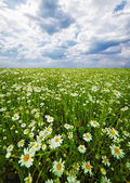 Field with blooming camomiles — Stock Photo